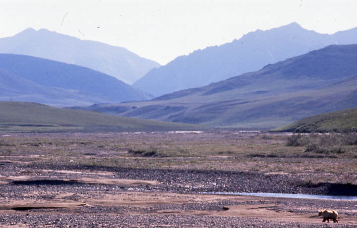 A lone brown bear crossing an open gravel bar at the base of a massive valley, stretching away to the hazy silhouettes of jagged peaks beyond.