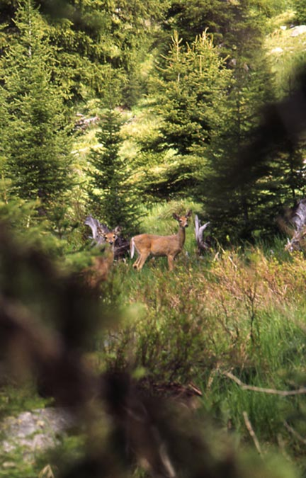 Looking through a screen of trees at two deer in a small meadow, surrounded by forest trees.