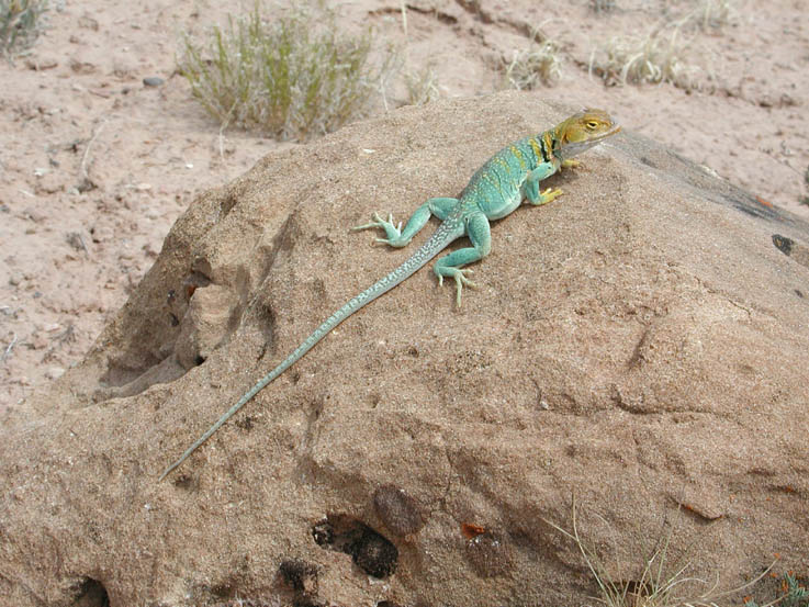 A large bright turquoise lizard with a long tail and a bright yellow head, sitting on a large rock.