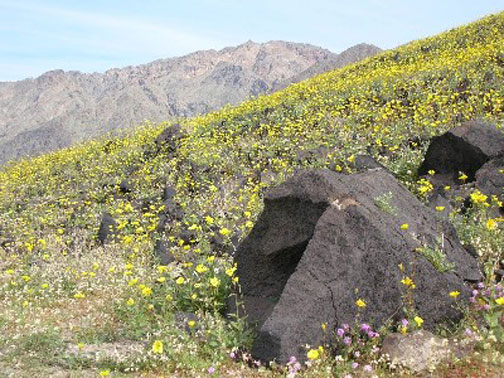 Looking across an alpine slope, covered in a carpet of yellow wildflowers, and dotted with small boulders.