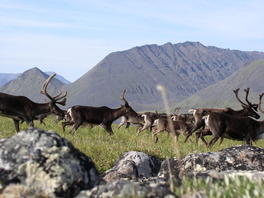 A close-up of a group of dark caribou along the grassy tundra, with tall mountains in the background.