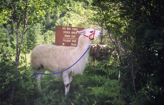 A white llama tethered on the edge of a forest, next to a brown signpost.