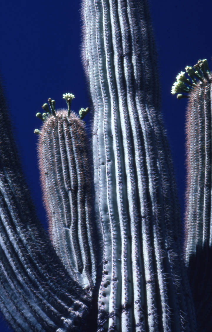 A close-up of a cactus trunk, the tips of the branches decorated with small white flowers on short stalks.