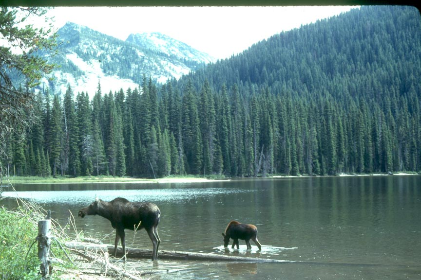 A cow and calf moose, wading out of a small lake, surrounded by dense forest and higher mountains in the background, laced with snow.