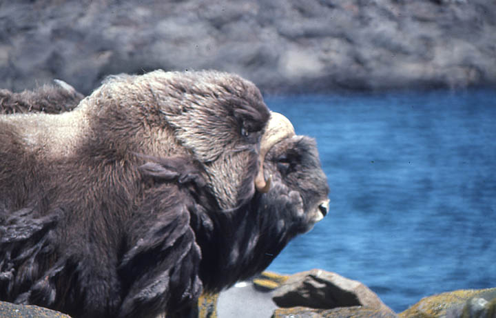 Close-up of a musk ox, against a background of blue water.