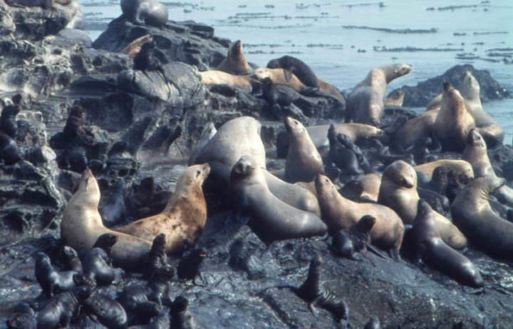 A close-up of a sea lion haul-out, small black pups scattered on the rocks, surrounded by massive brown adults.