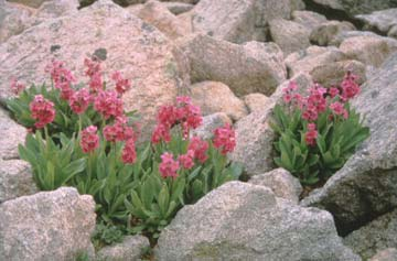 Several clusters of pink wildflowers, growing from green stems, nested among small boulders.