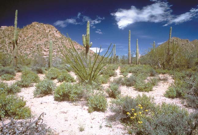 An iconic desert scene, of low green brush dotting the white sand, accented by sparse patches of yellow wildflowers and tall slender cactus, with low desert mountains rising in the background under a deep blue sky with white clouds.