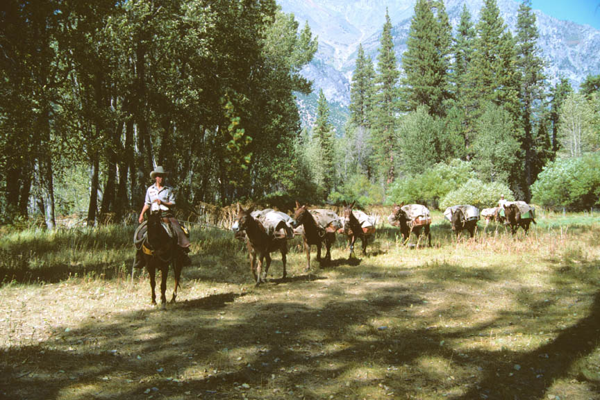 A person on horseback, leading a long string of pack mules, through a large forest clearing.