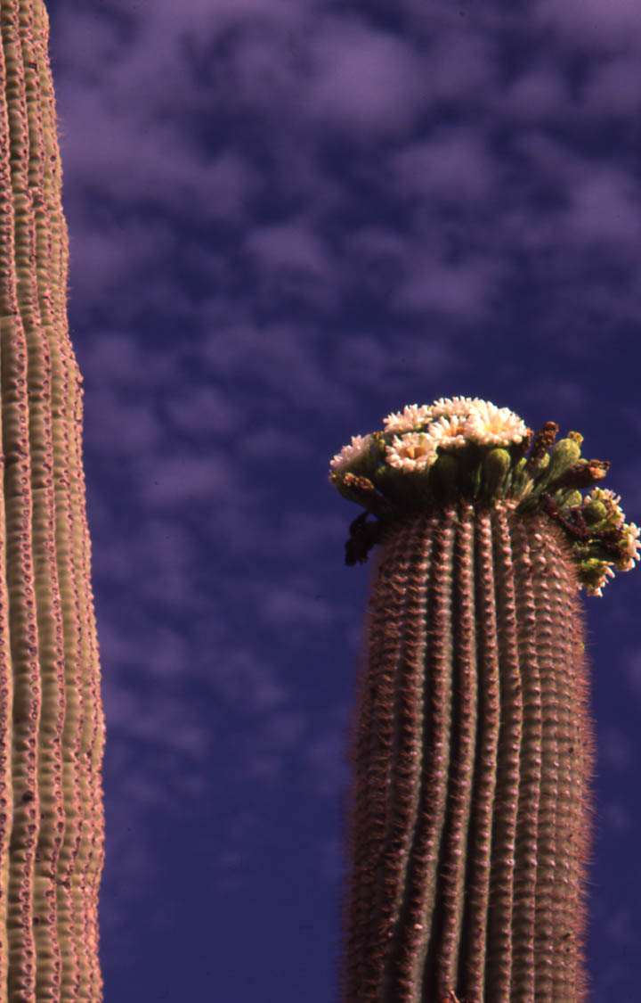 A close-up of a tall cactus stalk topped with a cluster of white flowers, against a background of deep blue sky, mottled with white clouds.