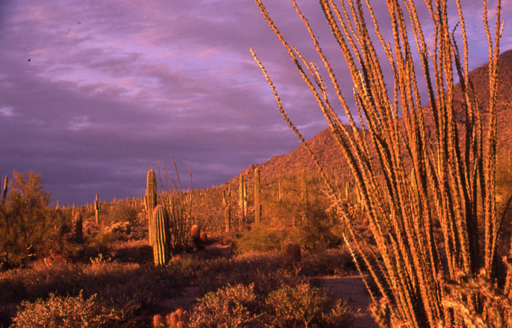 Tall cactus bathed in evening light, against a purple sky above low mountains in the background.