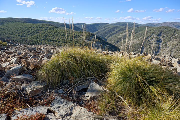 Two clumps of beargrass sit in bolders at the top of a mountain