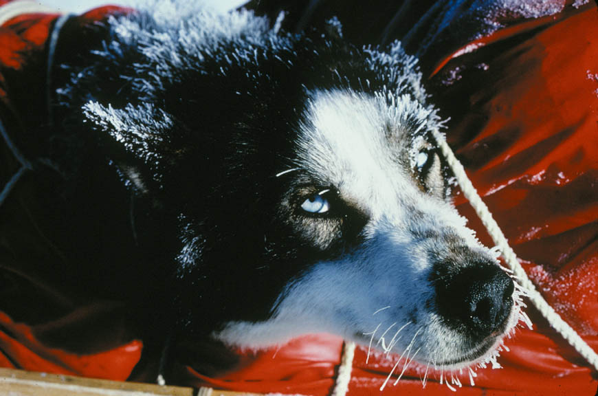A close-up of a dog, with a frost-covered face.