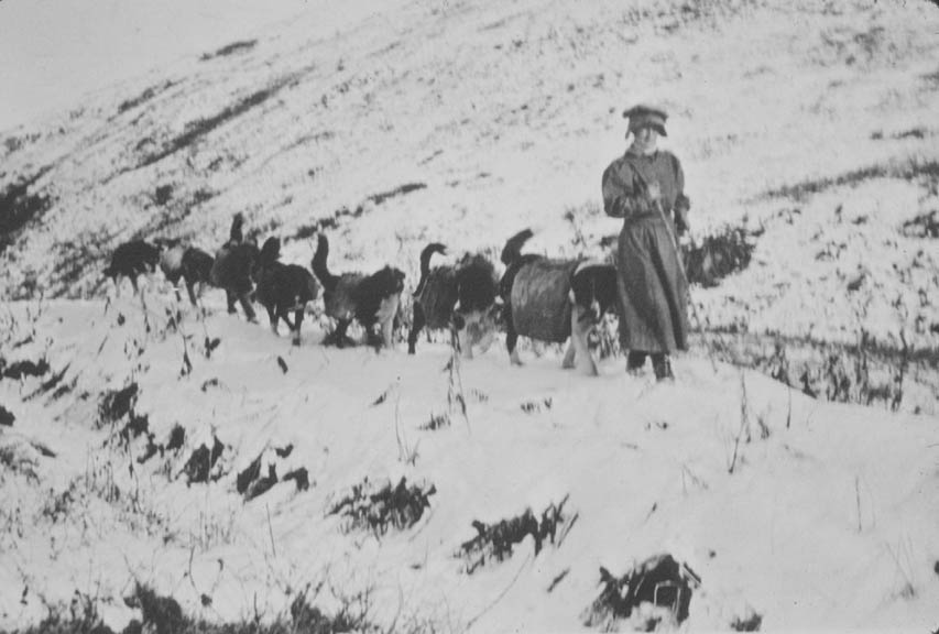 A vintage black and white photograph of a woman leading a team of dogs through the snow.