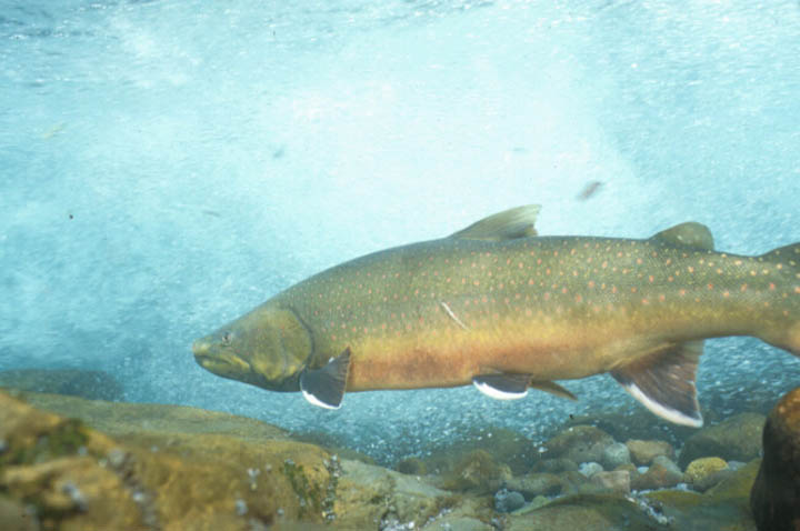 An underwater photo looking up from the rocky bottom of a stream, to a large brown trout swimming above through the clear blue water.