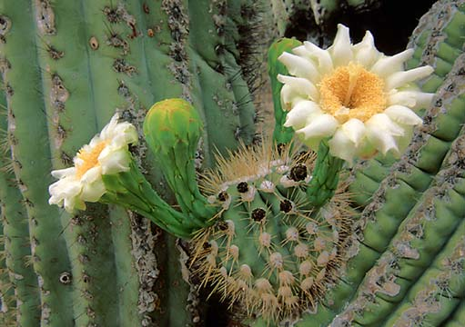 Close-up of a saguaro cactus in bloom.