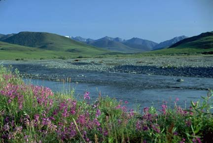 A glacier-fed river runs through the Alaskan tundra amid pink wildflowers.