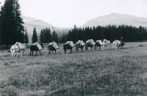 A vintage black and white photograph of a large string of pack horses traveling across a field, with mountains in the background.