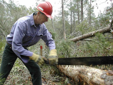 A man in a red hard hat, using a large hand saw to cut a fallen tree in to sections.