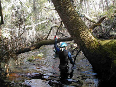 A person in a blue hard hat standing waist-deep in a swamp, clearing fallen trees from a waterway at the base of a large mossy tree.