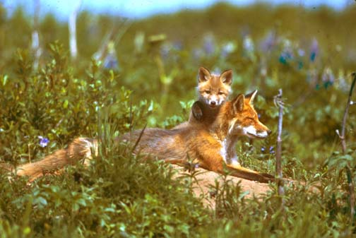 A red fox with an energetic pup peeking over its back, sunning itself with a background of blue wildflowers.