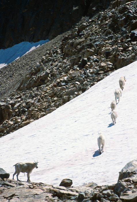 A small group of mountain goats, traveling up a small snow slope bordered by jagged rock.