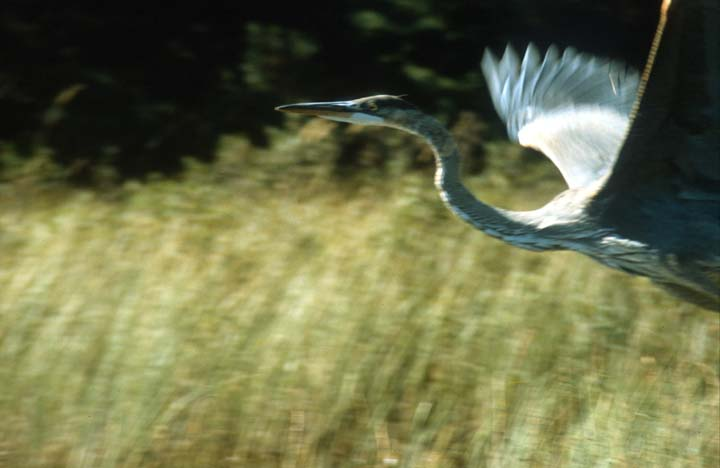 A close-up of a Heron, jumping into flight.