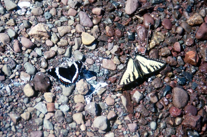 Two butterflies, one black with white stripes, and one yellow with black stripes, resting on brown gravel.