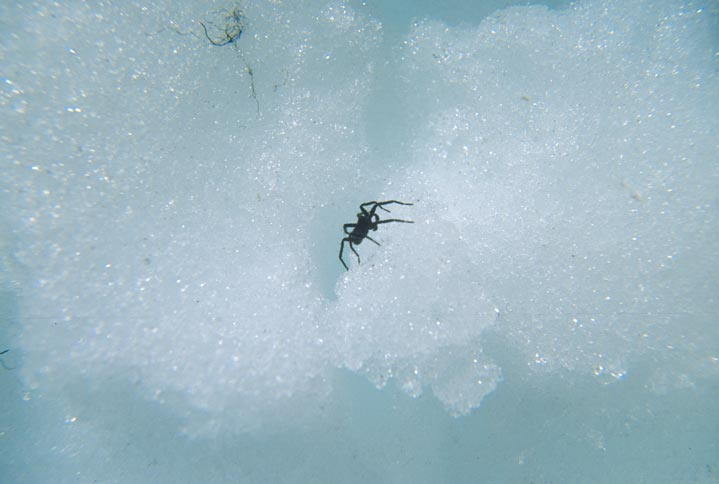 A small black spider, walking on white snow.