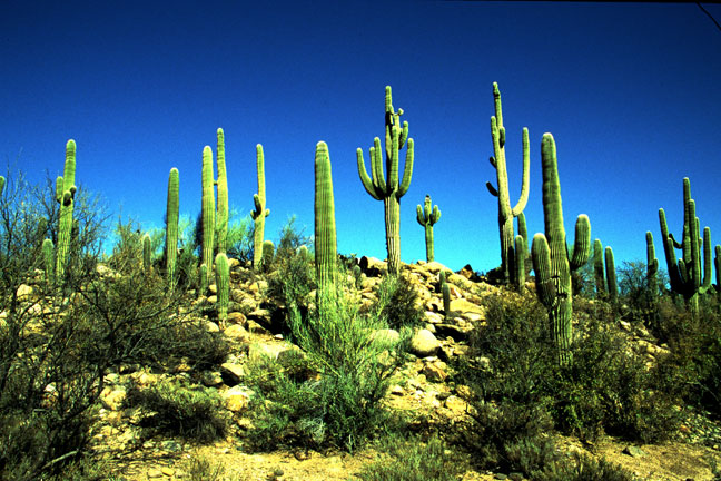 A stand of tall cactus, against a deep blue sky.