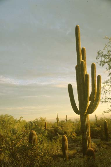 A large cactus, surrounded by lush green desert plants, bathed in the warm light of sunset.