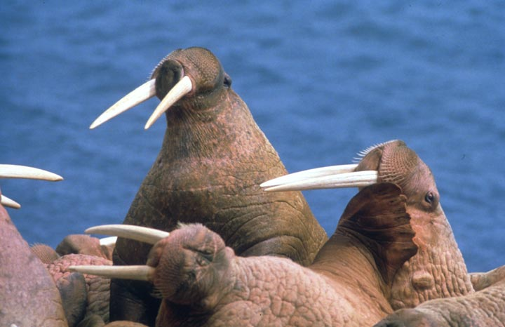 Close-up of a walrus herd.