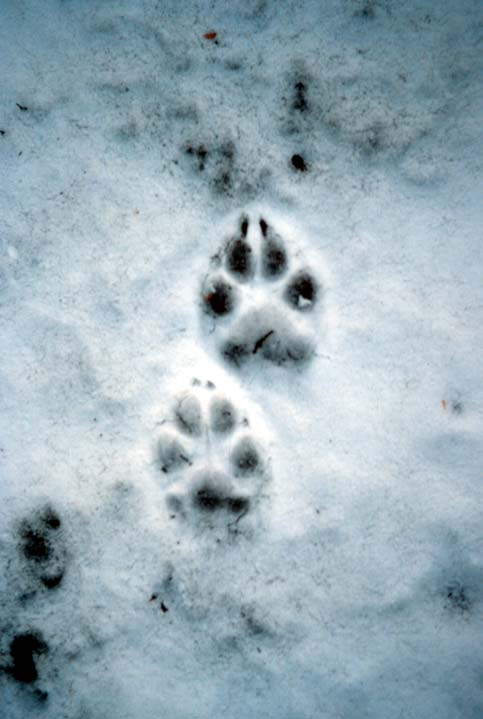 Two detailed footprints of a wolf left in a thin layer of snow.