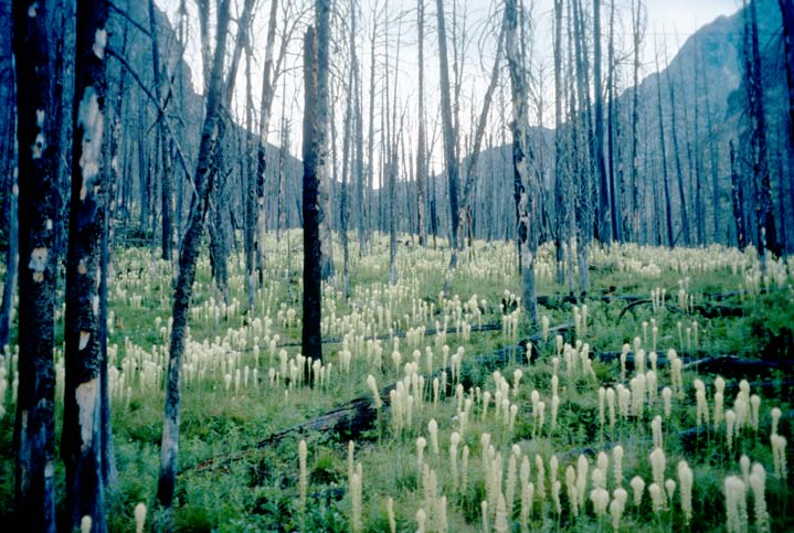 An open stand of burned forest with tall white flowers rising from a green carpet of low foliage.