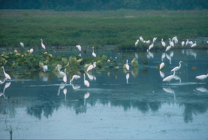 A group of white wading birds congregates in a vibrant green marsh with lily pads.