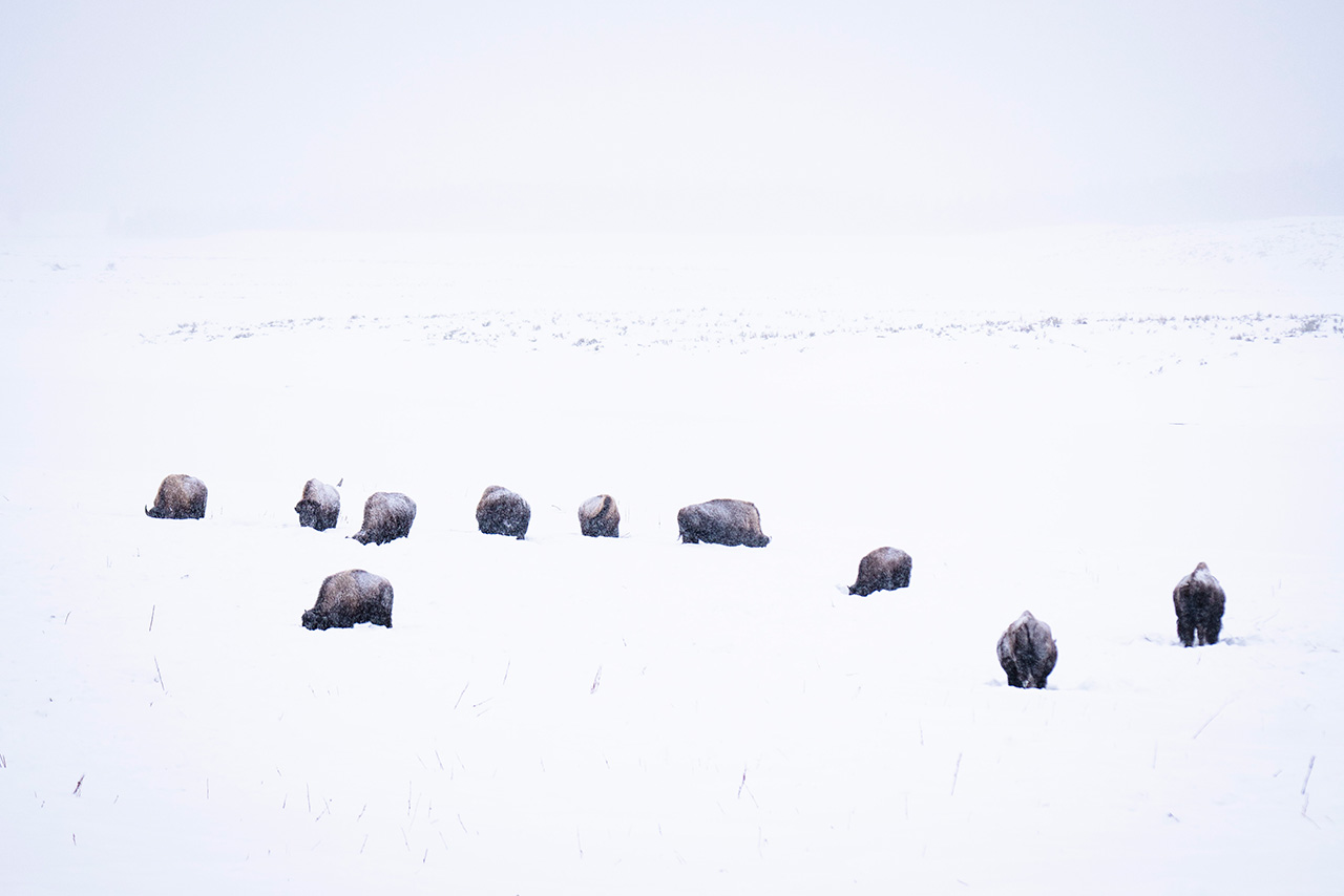 Bison in deep snow